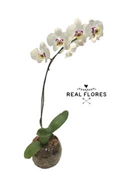 1445 Orquídea branca entrega expressa