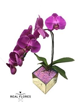 1447 Orquídea roxa