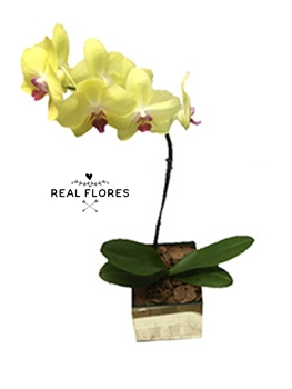 1448 Orquídea amarela