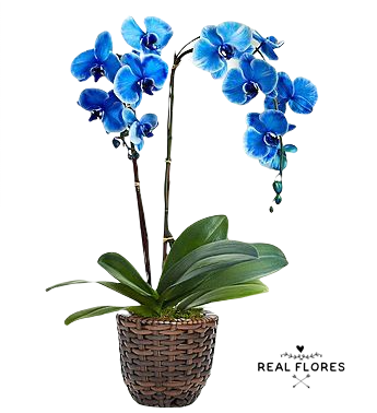 4011 Love Blue Orquídea